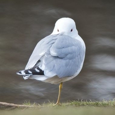 A local gull standing on one foot.