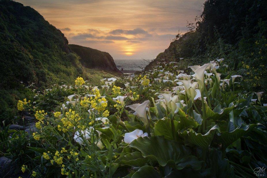 Calla Lilly Valley in Big Sur