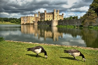 Leeds Castle and Geese Residents