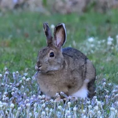 Snowshoe rabbit feeding on flowers in the back yard