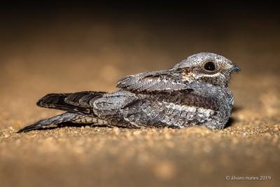 Noitibó da Europa   European nightjar   Caprimulgus europaeus