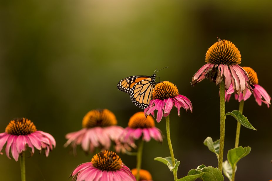 I venture out to the local park, in the summer, to capture photos of butterflies.