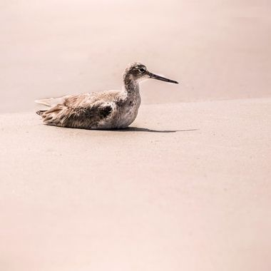 Resting Will the Willet