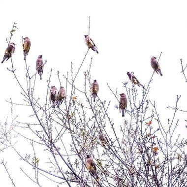 Colorful Cedar Wax Wings