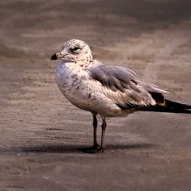 DAYB Seagull Stance