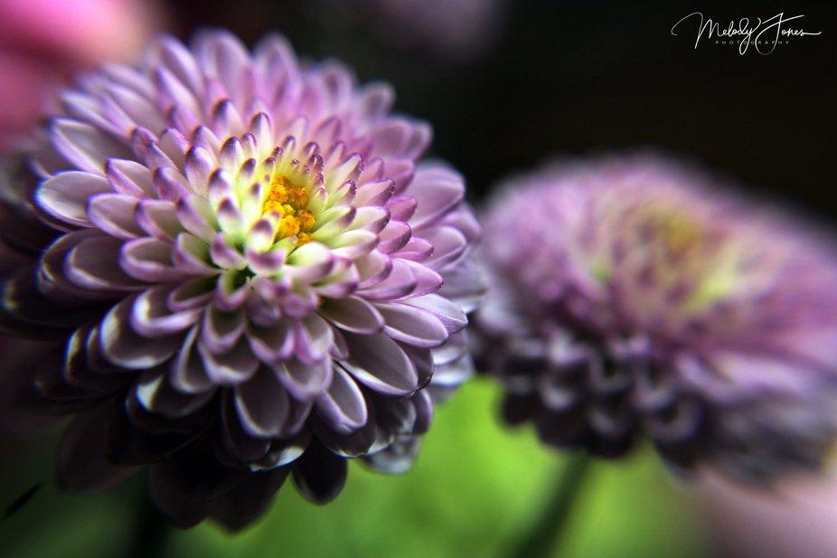 Macro_purple flower_AV
