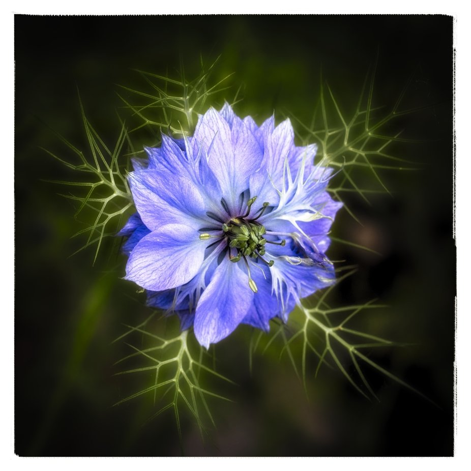 The nigella flowers in our yard are in full bloom now.