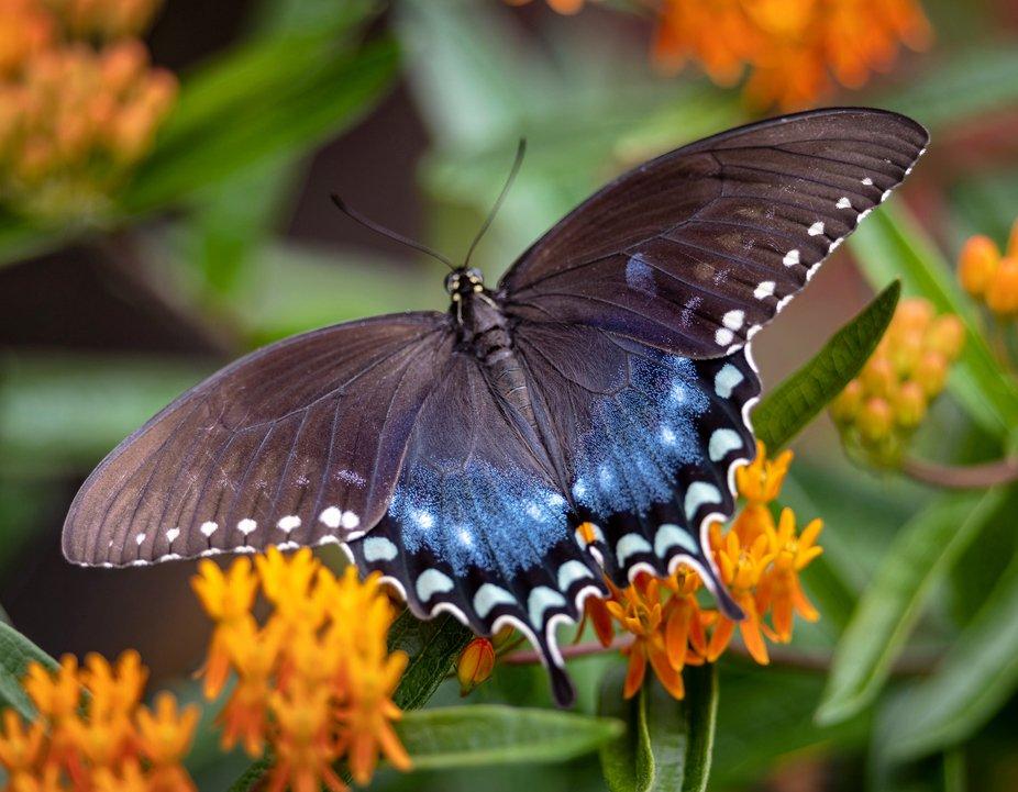 Spicebush Butterfly on Butterfly Milkweed.