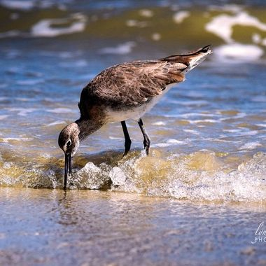 Walking along the New Smyrna Beach here in FL, this cute Western Sandpiper was digging for a snack.