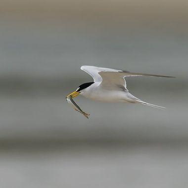 Least Tern with fish DSC02045