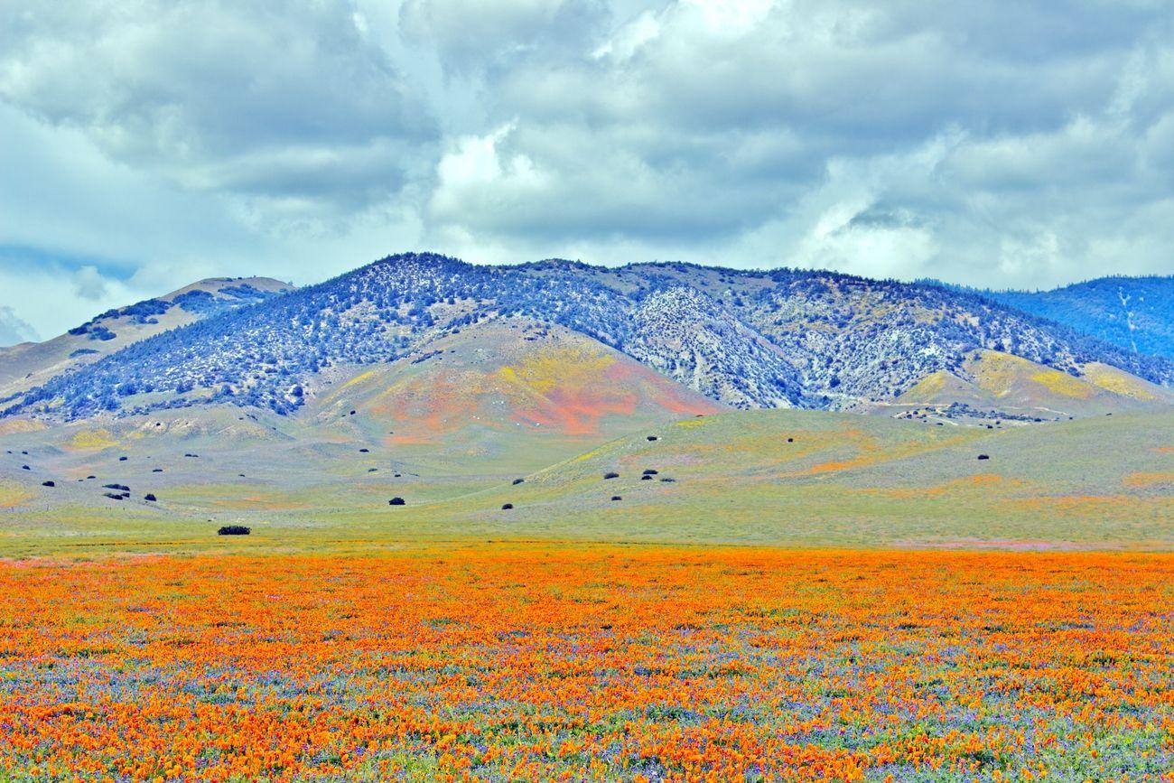 A Carpet of Orange Poppies