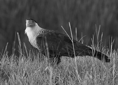 June 6th Northern Crested Caracara