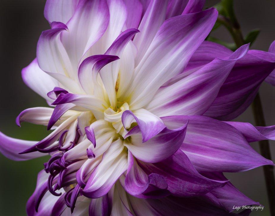 Purple&White