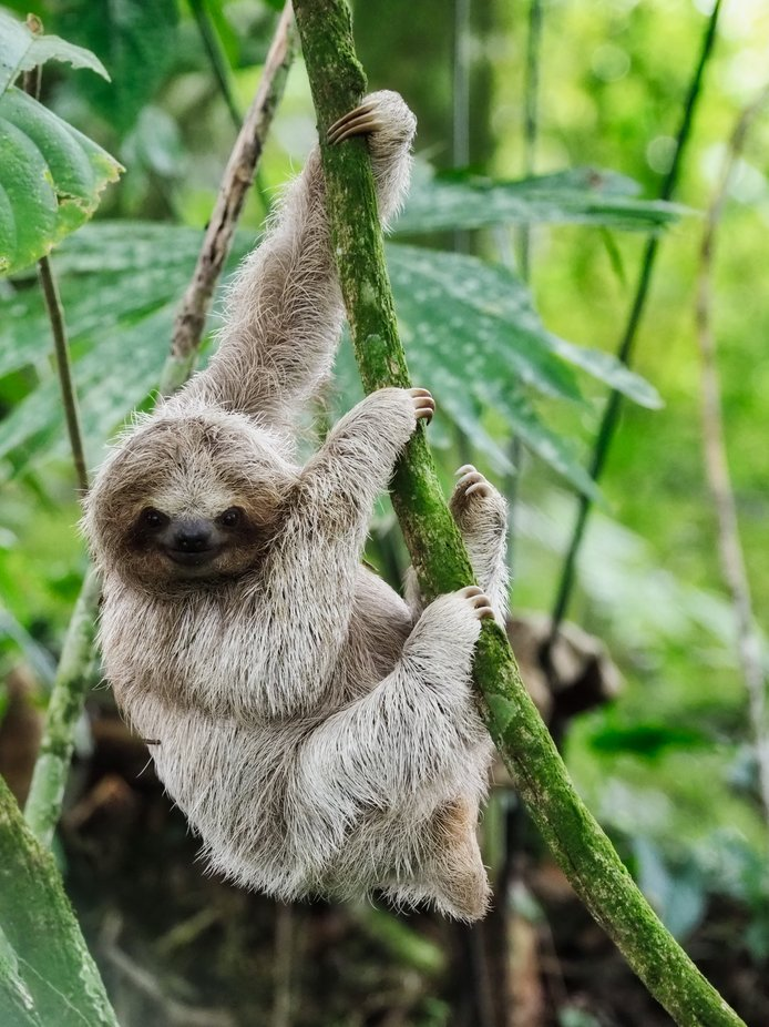 Capturing a baby Sloth
