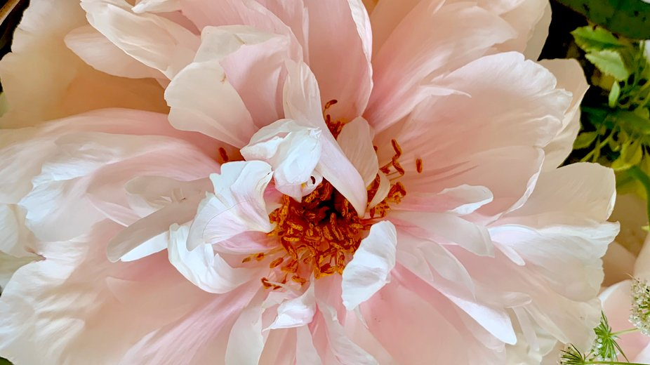 Peony! Up close and personal!