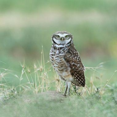 Burrowing Owl, Male, DSC02109