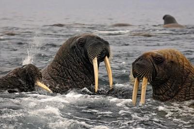 Les morses du Svalbard