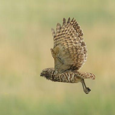 Burrowing Owl, Female, DSC02607