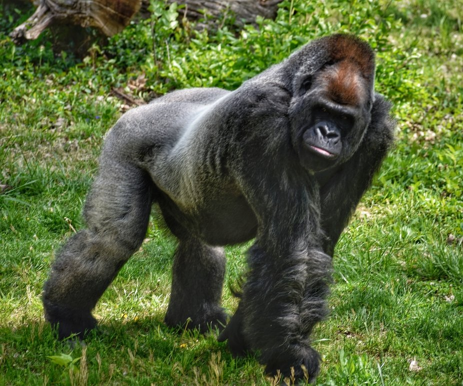 Male gorilla at KC Zoo