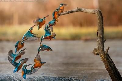 Kingfisher fishing dynamics