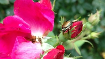 Japenese Beetle and a Red Rose