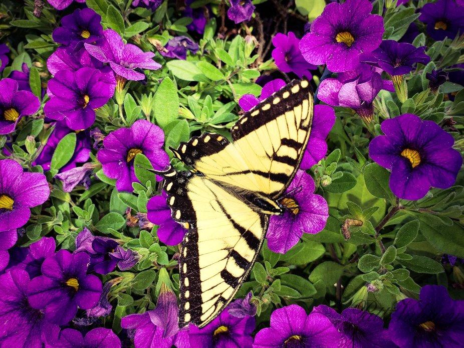 Tiger Swallowtail visiting