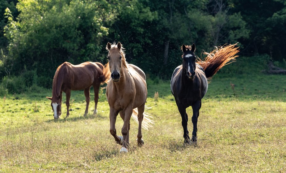 These beauties are found often grazing. The Palomino sometimes come to the edge of the field to s...