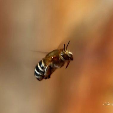 Amegilla bee in flight
