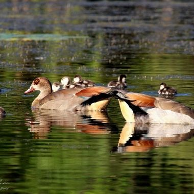Egyptian Geese and Ducklings