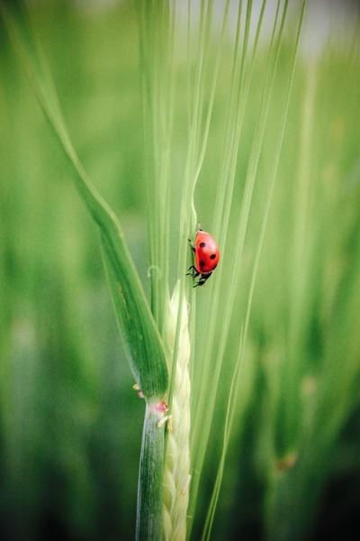 Ladybug in the crop