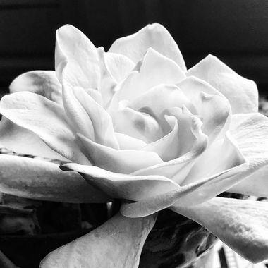 Gardenia BNW