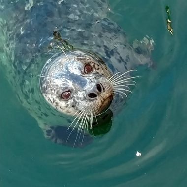 Harbor Seal  IMG_20160326_134311027-2