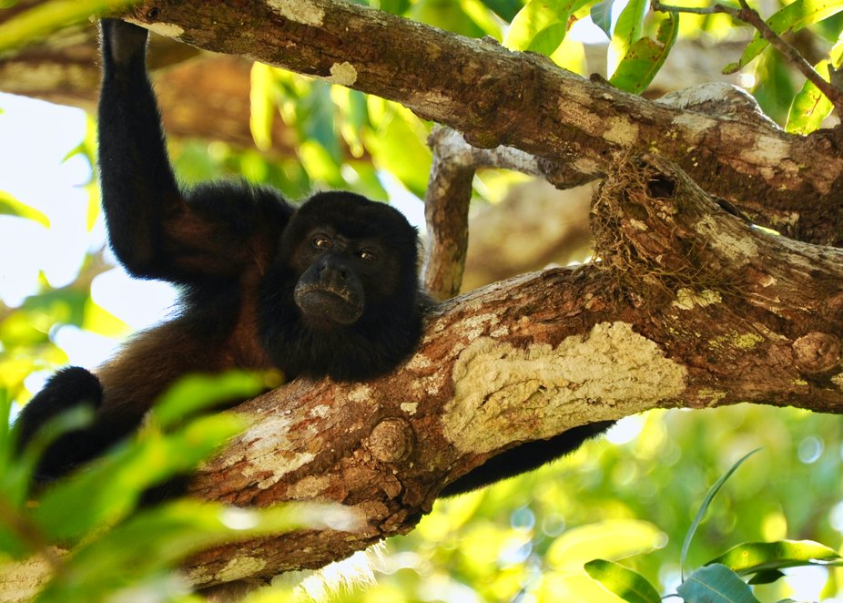 These Howler Monkeys are not large, but their howl can be heard for great distances