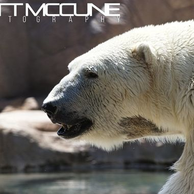 A polar bear at the Albuquerque BioPark on 8 June 2019. This bear and its mate were quite hot, but paced back and forth in a way that was entertaining.
