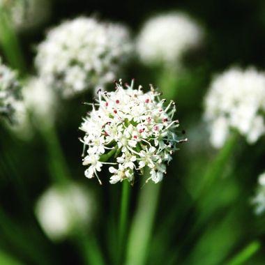 Healthy wild flowers tor making tea