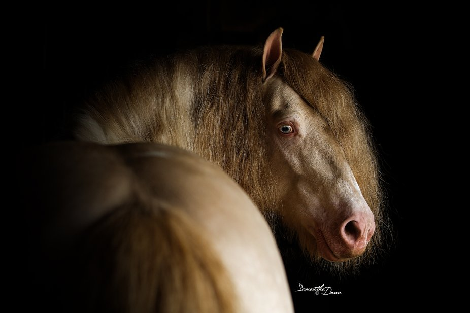 Guthrie Hershey, a gorgeous gypsy stallion, giving me his best bedroom eyes over his hips. What a...