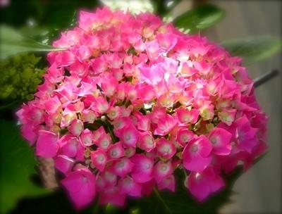 Hydrangea Bloom