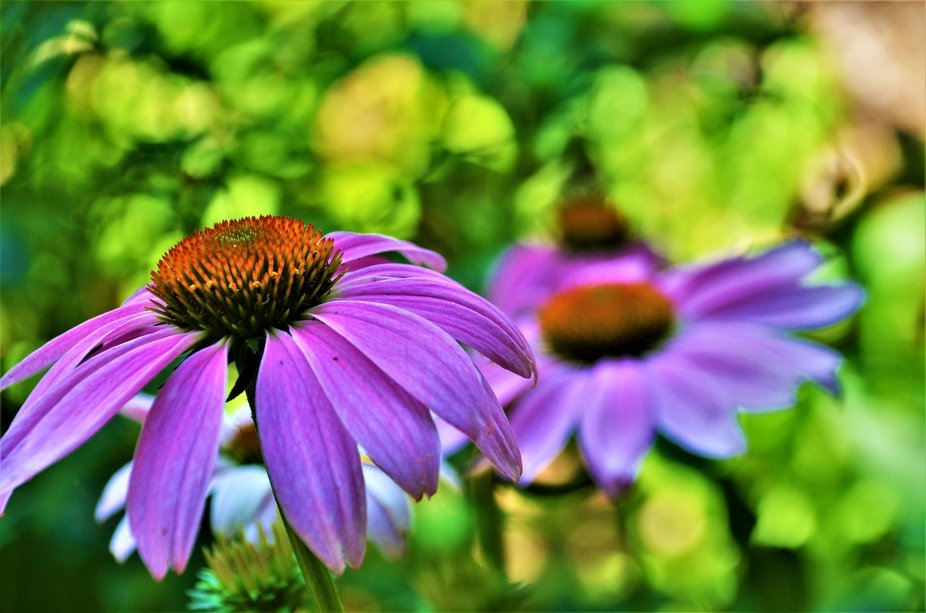 Beautiful purple daisy at the wonderful Garvan Woodland Gardens in Hot Springs, AR.