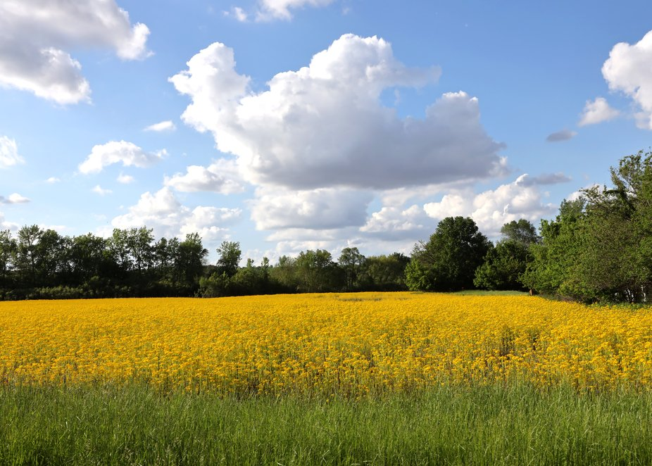 Yellow Wildflowers and White Clouds