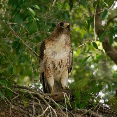 Hawk3