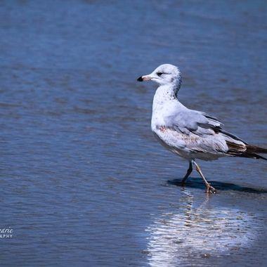 NSB Mr Cocky Seagull