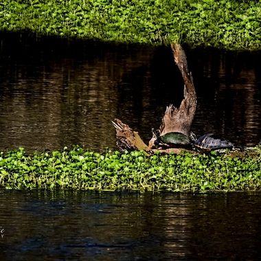 SJR Turtle Island