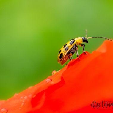 Itty-Bitty-Bug-on-a-Bloom