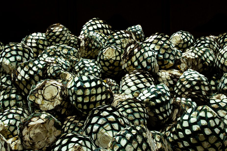 A photo of the agave plant cut and ready to start the process of making tequila