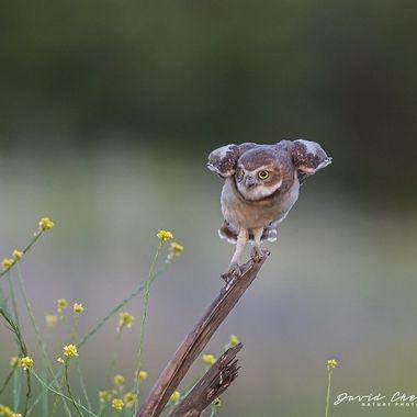Burrowing Owl, Juvenile, DSC03963