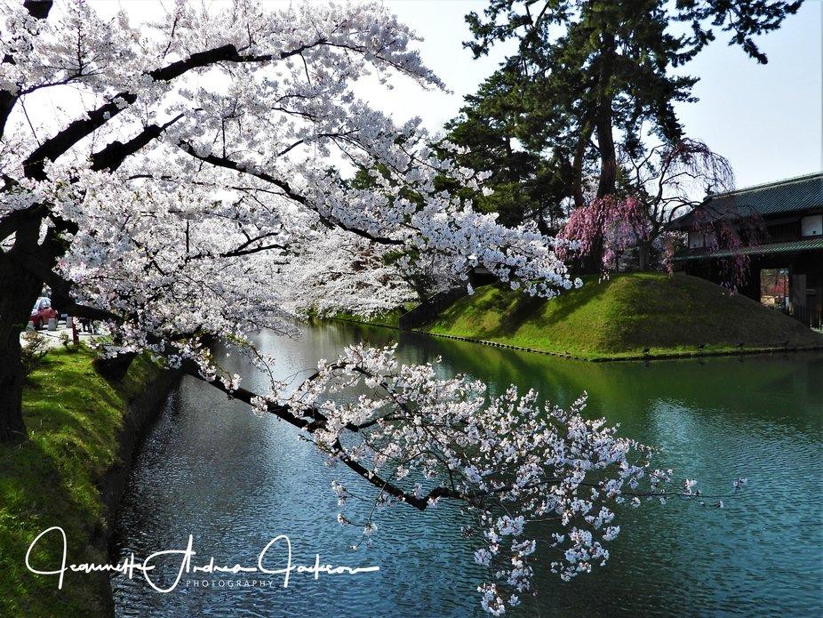 Hirosaki Park Cherry Blossom Festival 2018