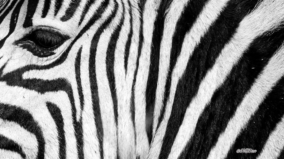 Young Zebra pattern