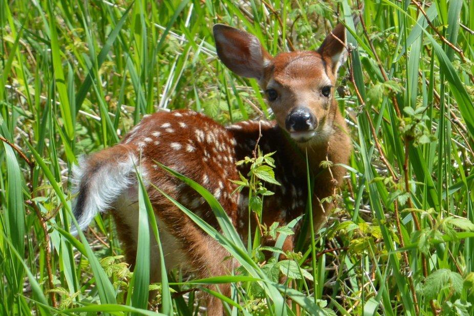 Bébé cerf de Virginie, juin 2019