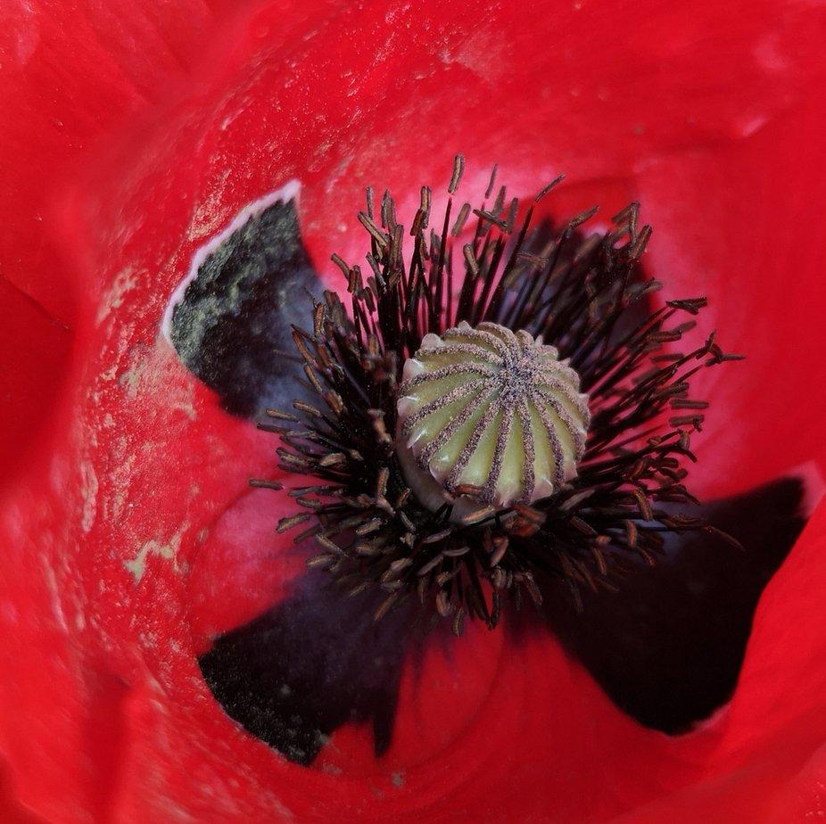 Im Inneren einer Mohnblume