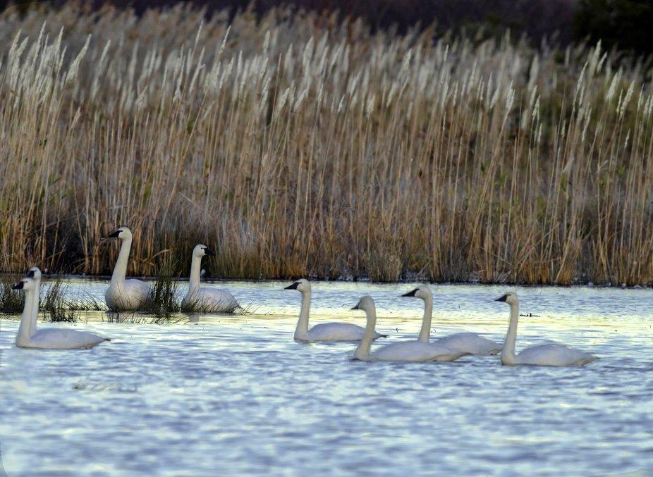 Wintering Tundra Swans at dusk